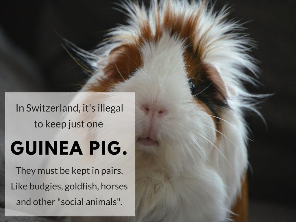 "In Switzerland, it's illegal to keep just one guinea pig. They must be kept in pairs. Like budgies, goldfish, horses and other ""social animals""."